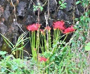 秋を告げる赤い花