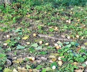落ちてきた銀杏で秋を知る