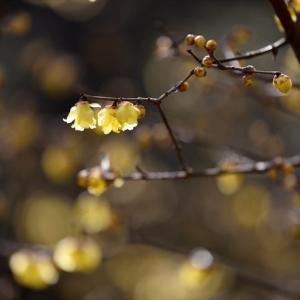 松平郷の蝋梅