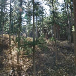 美杉町石名原のミツマタ群生地