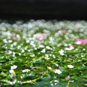 醒井宿の梅花藻