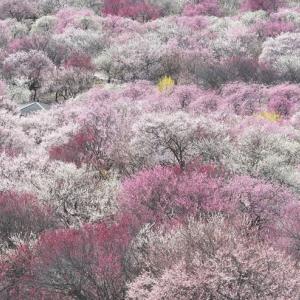 いなべ市農業公園の梅