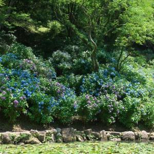 みのかも健康の森の紫陽花