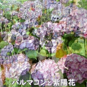 パルマコンと紫陽花 再び