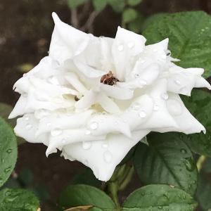 病院の白い薔薇  2020.09.17