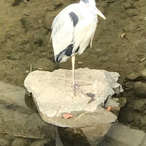 散歩途中の紫川で観た鳥。  2020.11.25