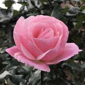 買い物途中で観たピンクの薔薇  2020.11.25