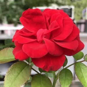 朝の散歩で観た園芸コーナーの薔薇。 2021.09.28