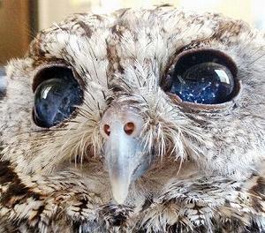 視力を失う代わりに瞳の中に宇宙を宿したフクロウのゼウス