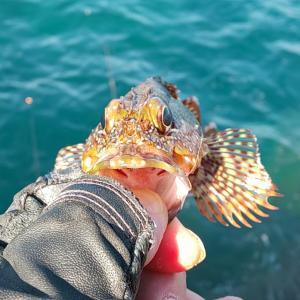 カサゴからのシグナル 磯釣りHopstep
