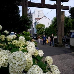 いまが一番!紫陽花咲き誇る白山神社