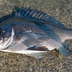 あの日、あのとき。㊽【これぞ完璧なクロダイ釣り!夕暮れ時の伊豆・下田湾】