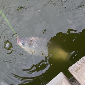 じんわり足下に浮かび上がる銀色の美しい魚体。