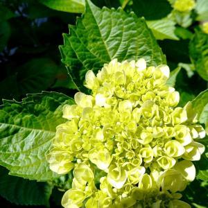 紫陽花とアボカド…☆