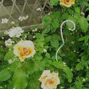 牡丹から薔薇の水浮かべに。^^*