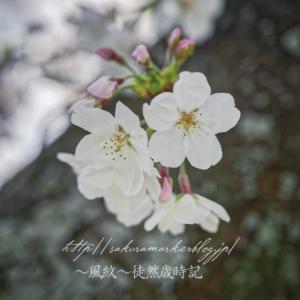 胴吹き桜。