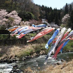 桜と鯉のぼりと清流