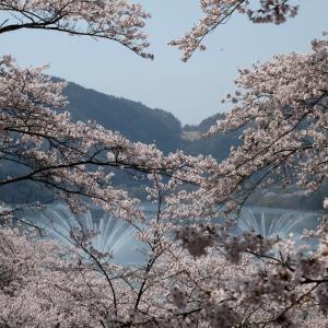 広島の名所「土師ダム」湖畔の桜