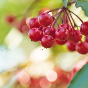 センリョウの赤い玉☆花マクロ