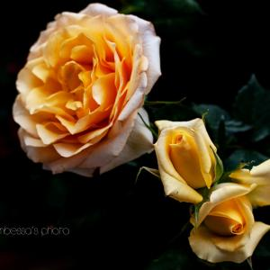 雨後の薔薇 4