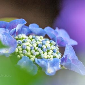 紫陽花咲く 2