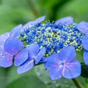 雨の日の紫陽花 2