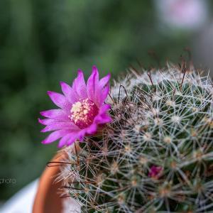 ミニサボテンの花