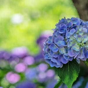紫陽花街道☆浜松フラワーパーク 2