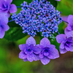 雨の日の紫陽花☆☆FA 77mm Limited