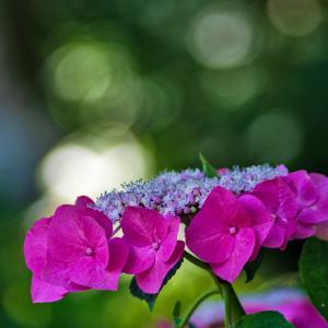 紫陽花☆☆DA★60〜250mm