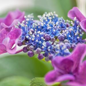 紫陽花☆☆TAMRON 90mm
