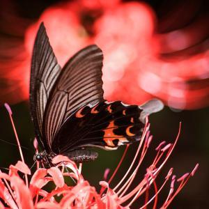彼岸花とアゲハチョウ 2
