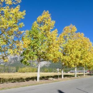 『昨日の快晴写真;今日は曇りで冬のような寒さなので・・😢』『真っ青な空と黄葉がマッチ』『秋のテニスコート』『今朝はめっちゃ寒かった・・』Banff,Canada