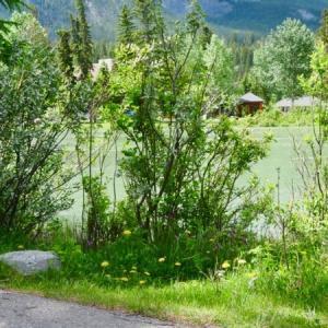 『ボウ川沿いの可憐なシューティングスターの花々』『ピンクの花と黄色の花』『セントラルパーク公園でのカナダデー(7月1日)行事は今年も中止』『カナダ国旗が寂しげにはためいている』*記事書きはBanff,Canada