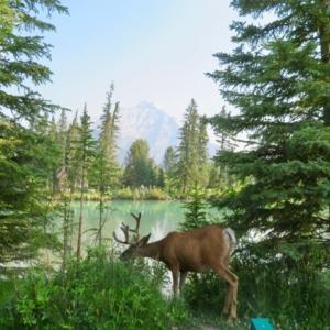 『ボウ川沿いの鹿くん;キャスケード山を背景に草を食っている姿』『今日は山火事の煙が少ない』『川沿いのカナディアン・グース(カナダ雁)』『静かで澄んでいるボウ川』*記事書きはBanff,Canada
