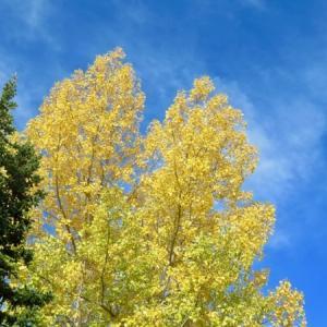 『秋晴れ黄葉写真いろいろ』『道沿い&川沿いの黄色』『晴れると黄色が一層輝いてくる』『馬車と黄葉』*「記事書き」はBanff,Canada