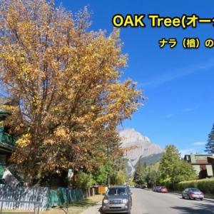 『バンフで唯一(らしい)のオーク Oak Tree の落葉樹』『オークOakの黄葉』『落葉観察で分かったこと;これ柏餅の葉っぱ?』『オークの日本語は楢(ナラ)・樫(カシ)・柏(カシワ)?とある』*「記事書き」はBanff,Canada