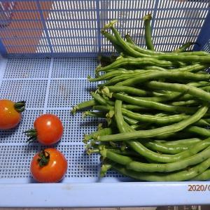 家庭菜園、採れ始めました