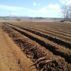 長芋掘り、始まりました。