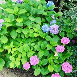 令和2年6月18日(木) は紫陽花