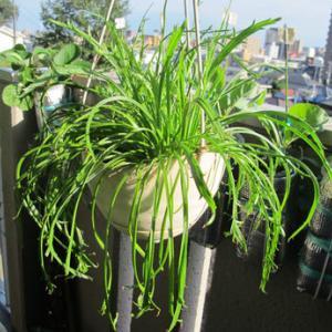 お初栽培葉っぱ「エルバステラ」2度めの収穫