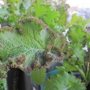 パーマグリーンという葉物野菜