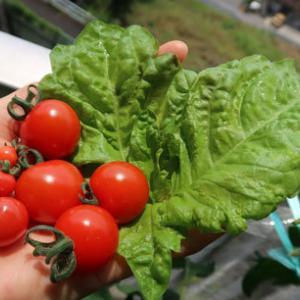 トマトのプチ初収穫