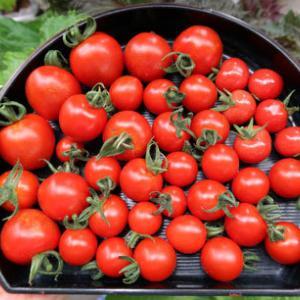 雨降りどきのトマトの味