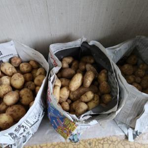 番外編:ジャガイモの保存