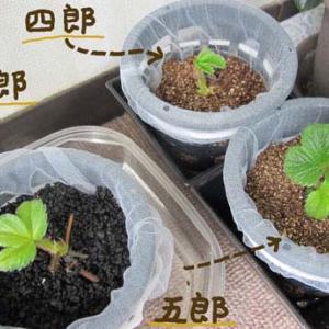 イチゴ:ランナー切り離し栽培のその後