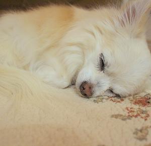 シニア犬の生活環境問題