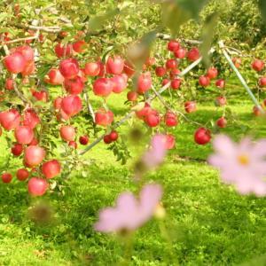 りんご園・・・