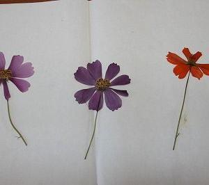 きれいな押し花ができました!