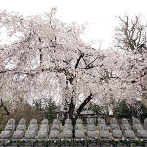 毎年恒例の志木、宝幢寺のしだれ桜
